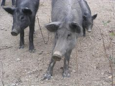 Free and open funny wild pigs photo. Download directly or search and discover more free pictures.