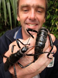 """Tree Lobsters"" These bugs were thought to be extinct since 1920, but 24 were found on a TINY rocky island... under its one bush. A group of scientist removed 4 of the bugs and have started a successful rehabilitation plan. Quite the story!"