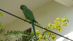 Indian Rose Ringed Parrot