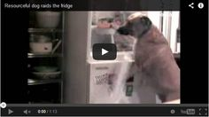 Smartest Dog Learns To Open And Raid The Fridge