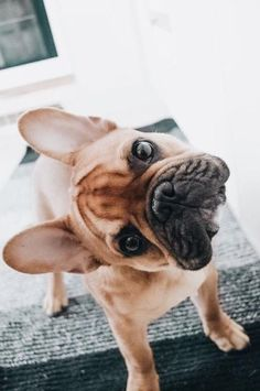"""Check out our site for more info on """"French bulldog puppies"""". It is actually a great location to learn more. French Bulldog Puppies, Cute Dogs And Puppies, I Love Dogs, Doggies, French Bulldogs, Funny Puppies, Frenchie Puppies, Puppies Puppies, Cute Pets"""