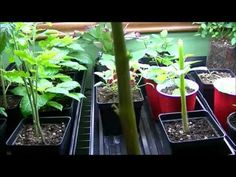 How To Increase Plant Size Exponentially and Clone!