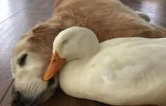Barclay is a Golden Retriever and his best friend is Rudy, a Pekin duck who is four years old and their friendship is something that would get eyeballs roll Animals And Pets, Baby Animals, Funny Animals, Cute Animals, Perros Golden Retriever, Animal Pick, Unlikely Animal Friends, Pekin Duck, Feline Leukemia