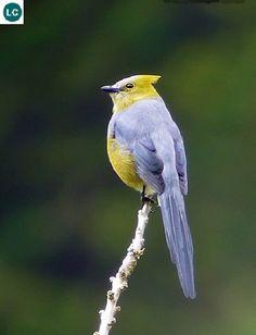https://www.facebook.com/WonderBirds-171150349611448/ Đớp ruồi lông mượt đuôi dài; Họ Đớp ruồi lông mượt-Ptiliogonatidae; Trung Mỹ-Costa Rica và Panama || Long-tailed silky-flycatcher (Ptiliogonys caudatus) IUCN Red List of Threatened Species 3.1 : Least Concern (LC)(Loài ít quan tâm)