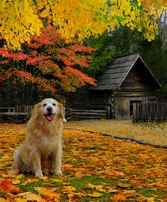 Smokey Mountains and Golden Retriever Autumn scene. Fotografia Macro, Autumn Leaves, Autumn Fall, Autumn Song, Happy Autumn, Golden Leaves, Autumn Harvest, Hello Autumn, Beautiful Places