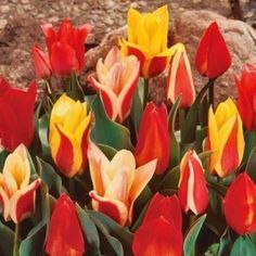 Rockery Tulip Peacock Mixed per 25 Spring Flowering Bulbs, Bulbs For Sale, Family Business, Peacock, Country, Rose, Flowers, Plants, Tulips