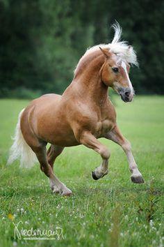 Haflinger Haflinger Horse, Warmblood Horses, Andalusian Horse, Beautiful Arabian Horses, Most Beautiful Horses, All The Pretty Horses, Cute Horses, Horse Love, Horse Photos
