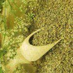 O melhor remédio natural para curar fígado e rins…a erva-doce! Conheça todos os seus benefícios!