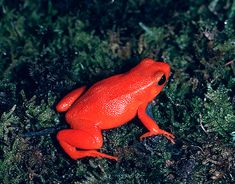 Red Mantella Frog. As suggested by the name, the Red Mantella has an orange/red dorsal surface. These frogs are small, reaching a size of 2.5 centimetres (1 in) in length. It is is a small, terrestrial frog native to Madagascar.