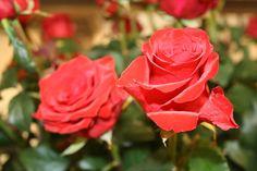 """Gärtnerisch wird zwischen Wildrosen und Kulturrosen unterschieden. Die Rose wird seit der griechischen Antike als """"Königin der Blumen"""" bezeichnet. Rosen werden seit mehr als 2000 Jahren als Zierpflanzen gezüchtet. Euer Florist des Vertrauens berät euch gern! Coral Garden, Flowers, Plants, Ornamental Plants, Antiquities, Plant, Royal Icing Flowers, Flower, Florals"""