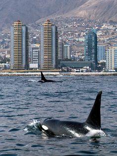 orcas frente a Antofagasta by isitram, via Flickr