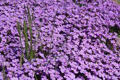 25 talajtakaró növény, melyekkel gyönyörűvé teheted a kertet! - CityGreen.hu Ground Cover Plants, Geraniums, Garden Planning, Gardening Tips, Urban Gardening, Flower Designs, House Plants, Home And Garden, Backyard