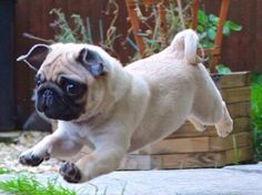 "Sing it with me now...""Puuuuuggg on the run! Puuuuuggg on the run!"" So cute. LOL"