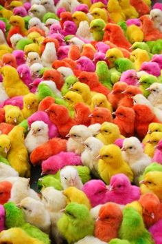 Chicks - Please do not think I am approving of dying baby chicks for Easter or any other time. I'm not - I just happen to think the colors are pretty World Of Color, Color Of Life, Cute Baby Animals, Animals And Pets, Wallpaper Bonitos, National Geographic Photo Contest, Taste The Rainbow, Colorful Animals, Colourful Birds