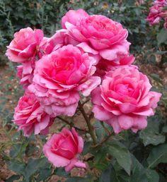 Rose de Bayonne