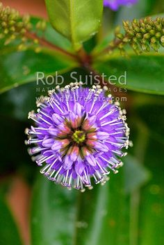 New Zealand hebe flowers or inflorescence. Also know as Napuka, showy hebe or showy-speedwell (Hebe speciosa; Plantaginaceae), New Zealand (NZ) stock photo. Quality New Zealand images by well known photographer Rob Suisted, Nature's Pic Images. Beautiful Flowers, Plants, Nature, Flowers, Native Garden, Bloom, Garden, Backyard