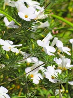 Linanthus grandiflorus, a stunning, long-blooming annual that self-sows readily, is an example of a less common California native an experienced designer can introduce a new gardener