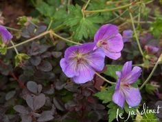 Look really closely at the details - see how the dark purple foliage of the barberry picks up on the deep threadlike markings on Rozanne geranium? 1 + 1=3