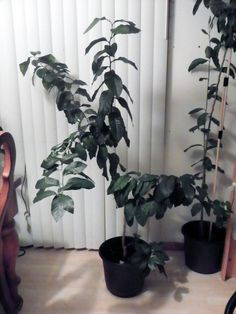 Grow your own beautiful houseplants from citrus seeds. Growing citrus trees from seed is easy, fun and, best of all, free.