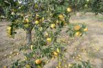 Los árboles de manzanas