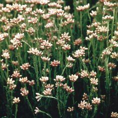 astrantia major pink pride astrance radiaire plantes grandes feuilles lob es fleurs. Black Bedroom Furniture Sets. Home Design Ideas