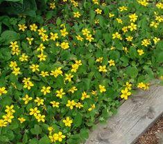 Chrysogonum virginianum 'Allen Bush' Golden star from North Creek Nurseries Ground Cover, Landscaping Plants, Plants, Concrete Leaves, Nature Garden, Landscape Projects, Valley Green, Shade Plants, Shade Perennials
