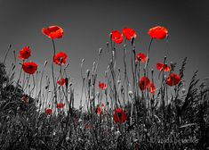 In the Poppy Field 5x7 inches fine art photograph by VaidaPhoto, $17.00