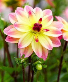 Pacific Ocean Dahlia Pacific Ocean's superb flowers are soft yellow in the center with pink petals. Productive plants pump out lots of flowers Top-size clumps.