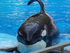 Keet, SeaWorld's Homeless Young Orca, is to be Moved Again – His is a Poignant Story