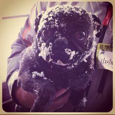 Snow face brindle pug.