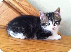 Domestic Shorthair Kitten for adoption in Sioux Falls, South Dakota - Rocky