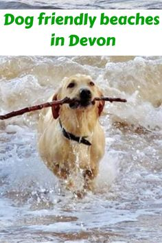 There are many beaches close to Andrewshayes where your dog can play on the beach all year round. Click the link for up to date information and exclusion zones Pet Dogs, Pets, Doggies, Devon Beach, Monmouth Beach, Devon Coast, Dog Friendly Holidays, Uk Beaches, Dog Walking