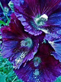 Violet hollyhocks
