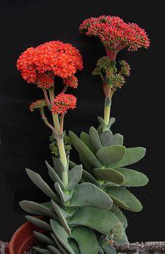 Crassula perfoliata var falcata - a beautiful flowering succulent