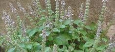 Tulsi ou basilic sacré (Ocimum sanctum) - AltheaProvence