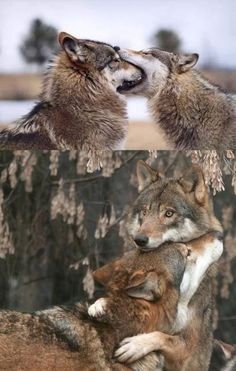 I'm guessing that's wolf french kissing