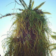 Palmera de Puerto de la cruz en Tenerife por floresdetrapo. #nature #naturaleza #botánico #PuertodelaCruz #Canaryisland #Tenerife #palmeras #palms #green #verde