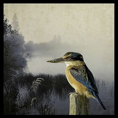 Kingfisher Kingdom -med by Clive Collins - prints Sea Birds, Love Birds, Beautiful Birds, New Zealand Art, Maori Art, Wall Art For Sale, Paint Effects, Kingfisher, Wildlife