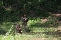Wolf dad and pup at the Museum of Life and Science, Durham, North Carolina