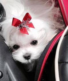 Sweet little Maltese! Simply beautiful!