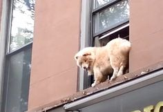 White Wolf: Firefighter rescues scared dog trapped on narrow window ledge (Video)