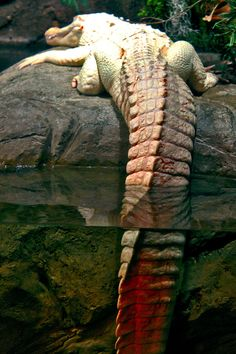 ♂ WIld life photography animal alligator