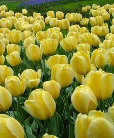 Selections from the Van Engelen Flower Bulbs Catalog