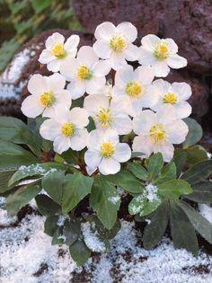 #Roses de Noël blanches #willemsefrance