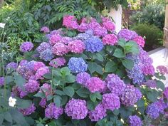 Plants and Flowers, Blue And Purple Color Of The Flower Dwarf Hydrangea Bushes With The Beautiful And Amazing Flower With Some Other Flower In The Edge Of The White Wall Fence ~ Planting Dwarf Hydrangea Bushes To Make Your Yard Look So Beautiful