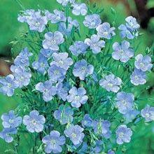 Blomsterlin 'Blue Dress'
