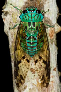 Cicada at night in Gamboa, Panama.
