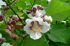 Trompetkrone (catalpa)