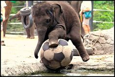 Baby elephant playing with a big soccer ball at the Taronga Zoo in Sydney! by Megan Spooner #Elephant #Soccer