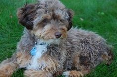 Mini Aussiedoodle - I have one of these but Oliver looks a little different